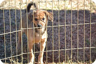 Chihuahua/Spaniel (Unknown Type) Mix Puppy for adoption in Pikeville, Maryland - Heath