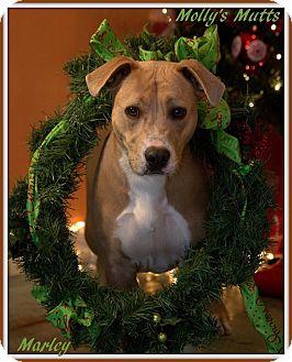 Labrador Retriever/Pit Bull Terrier Mix Dog for adoption in Dixon, Kentucky - Marley