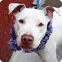 Adopt A Pet :: Marshmellow - Ridgefield, CT