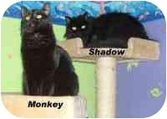 Domestic Shorthair Cat for adoption in Hawk Springs, Wyoming - monkey