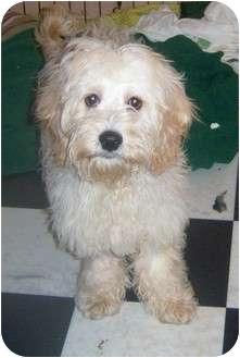 ELMO   Adopted Puppy   Rossford, OH   Coton de Tulear/Cocker Spaniel ...