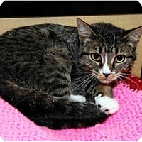 Adopt A Pet :: Kit - Farmingdale, NY