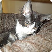 Adopt A Pet :: Gemini - Medina, OH