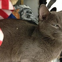 Domestic Shorthair Cat for adoption in Fresno, California - Pip