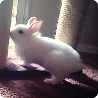 Adopt A Pet :: White Chocolate - Paramount, CA