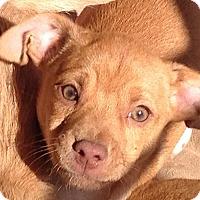 Adopt A Pet :: Dillon - Allentown, PA