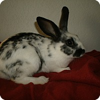 Adopt A Pet :: 4 Rabbits - Black Forest, CO