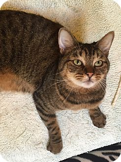 Domestic Shorthair Cat for adoption in Encinitas, California - Vie