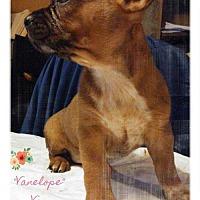 Adopt A Pet :: Vanellope' Von Schweetz - Foristell, MO
