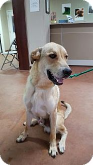 Great Pyrenees/Labrador Retriever Mix Dog for adoption in Clarksville, Arkansas - Benelli