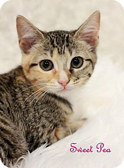 Domestic Shorthair Cat for adoption in knoxville, Tennessee - Sweet Pea $45 Female