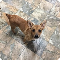 Chihuahua Mix Dog for adoption in Snyder, Texas - Teddy