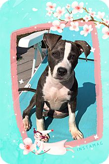 American Staffordshire Terrier Mix Puppy for adoption in Winsted, Connecticut - Ava