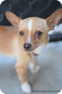 Chihuahua Mix Puppy for adoption in Goleta, California - Che