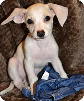 Parson Russell Terrier Puppy for adoption in Arlington, Washington - Dena, A Terrier-Dachshund puppy