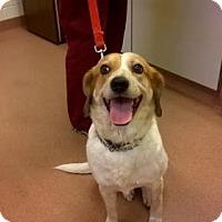 Adopt A Pet :: Country Girl - Turn Key Doggie - cat-friendly - Rowayton, CT