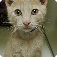 Domestic Shorthair Kitten for adoption in Georgetown, Texas - Jackson