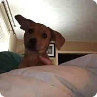 Adopt A Pet :: Peanut butter - Manhattan, NY