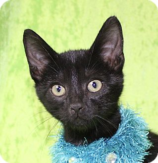 Domestic Shorthair Kitten for adoption in Jackson, Michigan - Rover