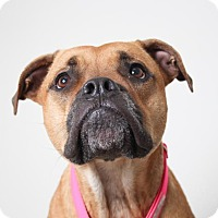 Adopt A Pet :: Daisy D161344: NO LONGER ACCEPTING APPLICATIONS - Edina, MN