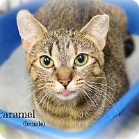 Adopt A Pet :: Caramel - Glen Mills, PA