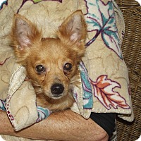 Chihuahua Dog for adoption in Marshall, Texas - Monty