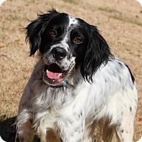 "English Setter Mix Dog for adoption in Yadkinville, North Carolina - Leopold ""Leo"""