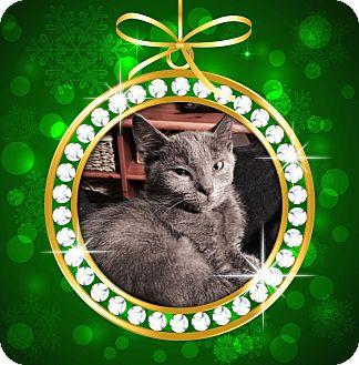 Domestic Mediumhair Kitten for adoption in Richmond, Virginia - Steven