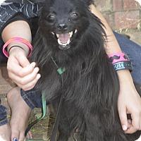 Adopt A Pet :: Pom Roy - Vacaville, CA