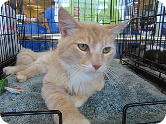 Turkish Angora Cat for adoption in Easley, South Carolina - Sam