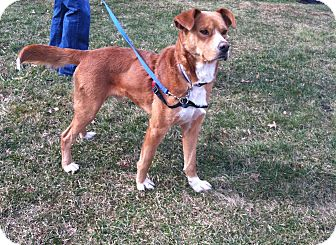 Nova Scotia Duck-Tolling Retriever/Boxer Mix Dog for adoption in Bridgewater, New Jersey - Griffin