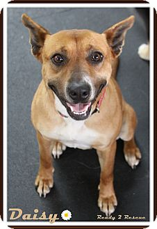Australian Cattle Dog/Shepherd (Unknown Type) Mix Dog for adoption in Rockwall, Texas - Daisy
