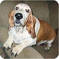 Adopt A Pet :: Estella - Phoenix, AZ