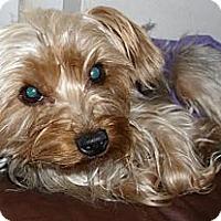 Adopt A Pet :: Ivy - Orange, CA
