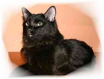 Domestic Shorthair Cat for adoption in Montgomery, Illinois - Boomer