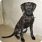 Adopt A Pet :: 18675 - Shadow