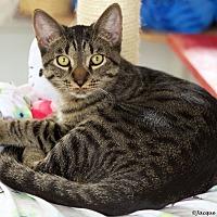 Adopt A Pet :: Midas - St Louis, MO