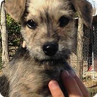 Adopt A Pet :: Nibs - Pleasant Plain, OH