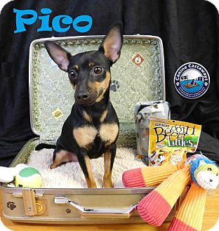 Miniature Pinscher Mix Dog for adoption in Arcadia, Florida - Pico
