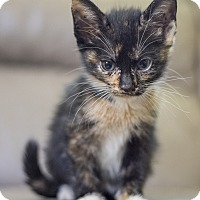 Adopt A Pet :: Kitten 1 - Houston, TX