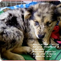 Adopt A Pet :: Aussies -Labradors bunch - El Cajon, CA
