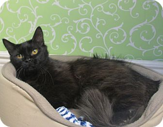 Domestic Shorthair Cat for adoption in Red Wing, Minnesota - Leo
