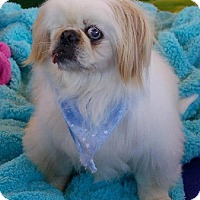 Pekingese Dog for adoption in Anaheim, California - Rocky