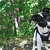 Adopt A Pet :: Bolt - New Castle, PA