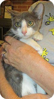 Domestic Shorthair Kitten for adoption in New Smyrna Beach, Florida - Casanova