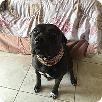 Adopt A Pet :: STELLA - BROOKSVILLE, FL