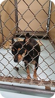 Chihuahua Mix Dog for adoption in Brownsville, Texas - Jax