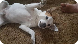 Jack Russell Terrier Dog for adoption in McKenna, Washington - Hunter