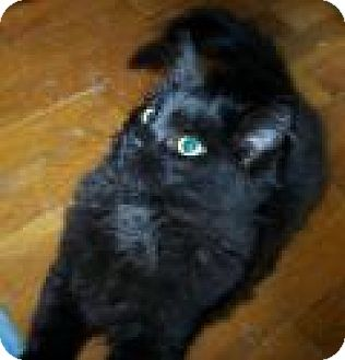 Domestic Shorthair Kitten for adoption in Fort Wayne, Indiana - Soot