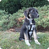 German Shepherd Dog Mix Puppy for adoption in Philadelphia, Pennsylvania - Hogan